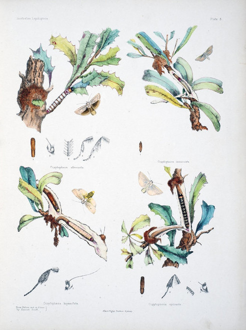 Art Prints of Plate 3 of Australian Lepidoptera and Transformations by Helena Scott