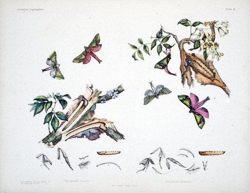 Art Prints of Plate 2 of Australian Lepidoptera and Transformations by Helena Scott