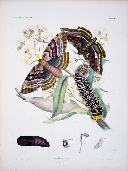 Art Prints of Plate 7 of Australian Lepidoptera and Transformations by Helena Scott