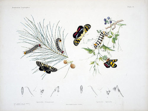 Art Prints of Plate 8 of Australian Lepidoptera and Transformations by Helena Scott