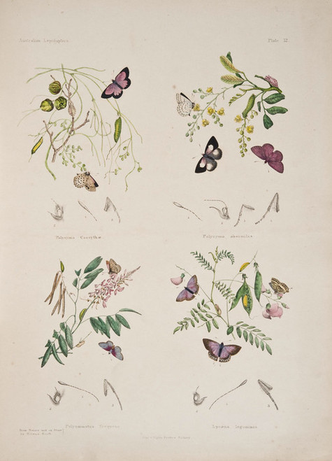 Art Prints of Plate 12 of Australian Lepidoptera and Transformations by Helena Scott