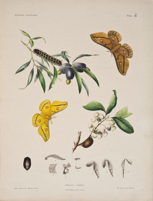 Art Prints of Plate 13 of Australian Lepidoptera and Transformations by Helena Scott