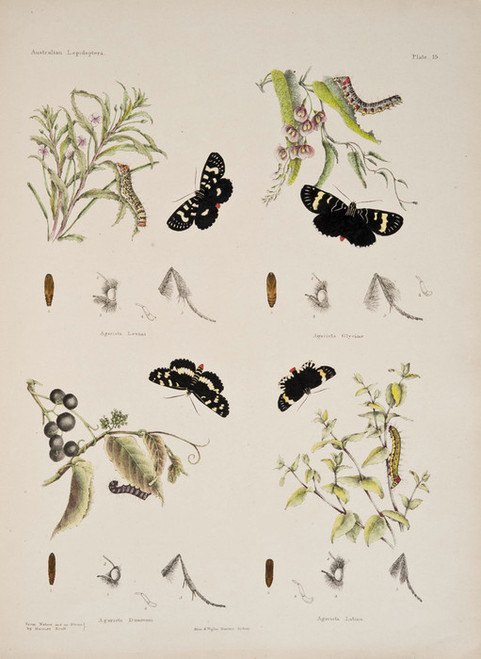 Art Prints of Plate 15 of Australian Lepidoptera and Transformations by Helena Scott