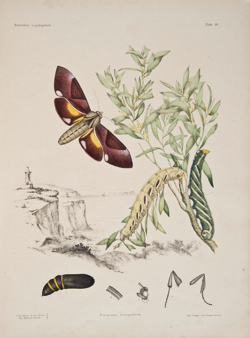 Art Prints of Plate 10 of Australian Lepidoptera and Transformations by Helena Scott