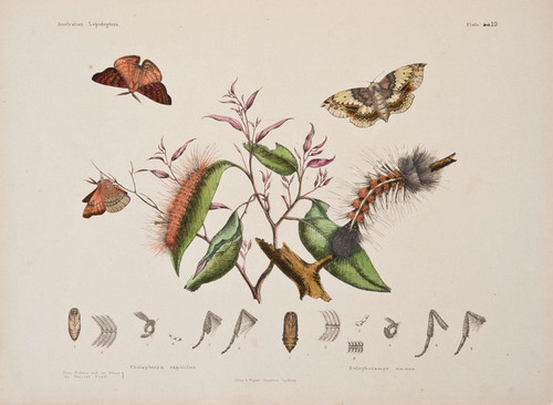 Art Prints of Plate 19 of Australian Lepidoptera and Transformations by Helena Scott