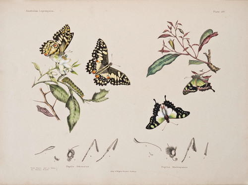 Art Prints of Plate 20 of Australian Lepidoptera and Transformations by Helena Scott