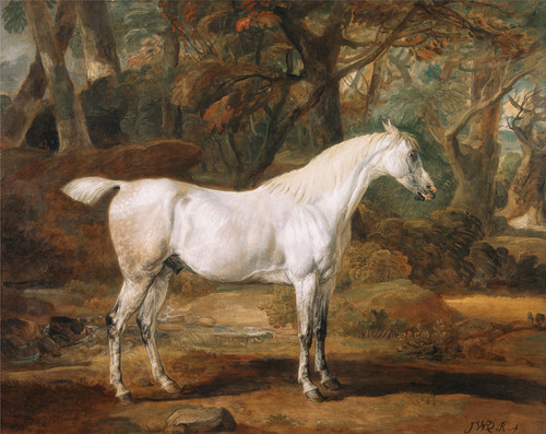 Art Prints of Grey Arabian Stallion by James Ward