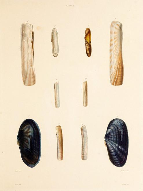 Art Prints of Shells, Plate 4 by Jean-Baptiste Lamarck