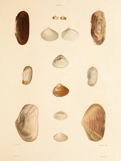 Art Prints of Shells, Plate 5 by Jean-Baptiste Lamarck