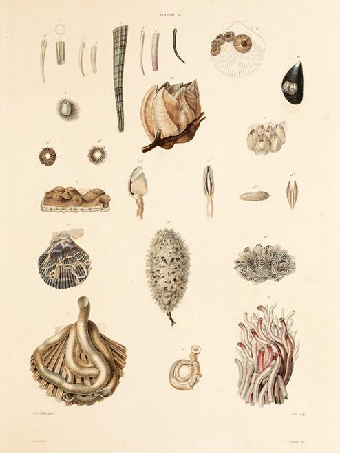 Art Prints of Shells, Plate 3 by Jean-Baptiste Lamarck