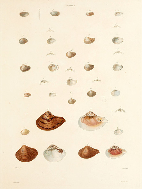 Art Prints of Shells, Plate 6 by Jean-Baptiste Lamarck