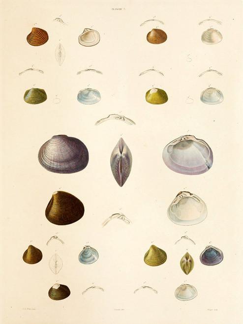 Art Prints of Shells, Plate 9 by Jean-Baptiste Lamarck