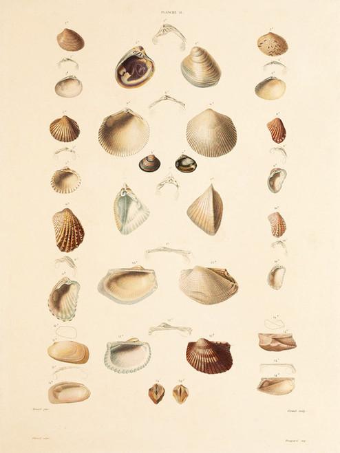 Art Prints of Shells, Plate 13 by Jean-Baptiste Lamarck