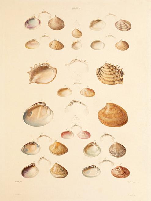 Art Prints of Shells, Plate 12 by Jean-Baptiste Lamarck