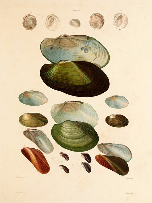 Art Prints of Shells, Plate 15 by Jean-Baptiste Lamarck