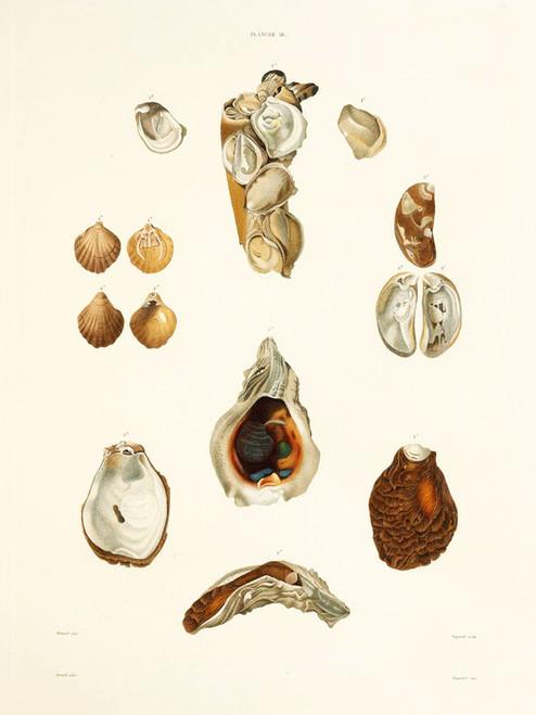 Art Prints of Shells, Plate 20 by Jean-Baptiste Lamarck