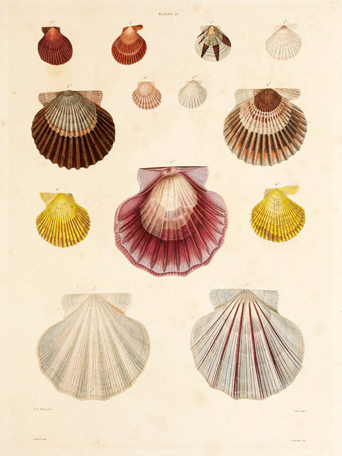 Art Prints of Shells, Plate 17 by Jean-Baptiste Lamarck