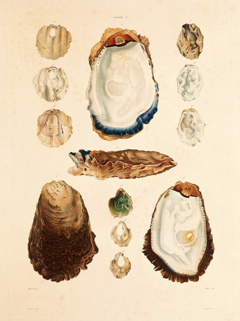 Art Prints of Shells, Plate 19 by Jean-Baptiste Lamarck