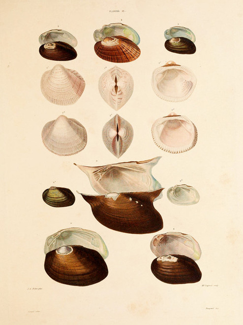 Art Prints of Shells, Plate 14 by Jean-Baptiste Lamarck