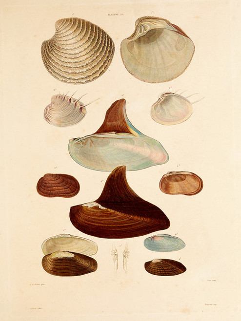 Art Prints of Shells, Plate 21 by Jean-Baptiste Lamarck