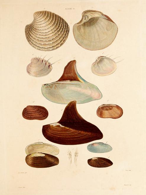 Art Prints of Shells, Plate 21 by Jean-Baptiste Lamarck