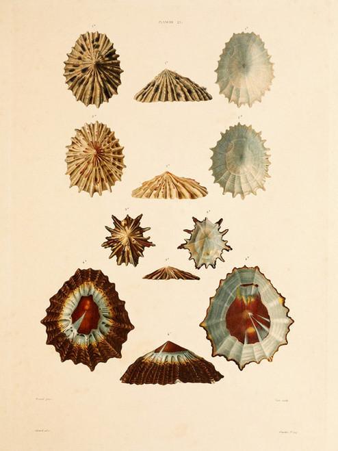 Art Prints of Shells, Plate 23 by Jean-Baptiste Lamarck