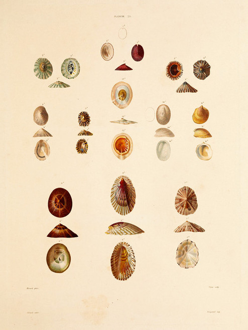 Art Prints of Shells, Plate 25 by Jean-Baptiste Lamarck