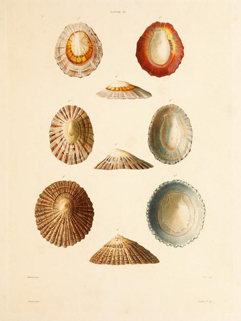 Art Prints of Shells, Plate 24 by Jean-Baptiste Lamarck
