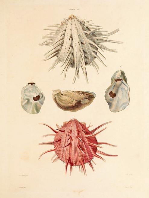 Art Prints of Shells, Plate 22 by Jean-Baptiste Lamarck