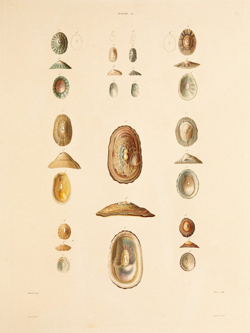 Art Prints of Shells, Plate 26 by Jean-Baptiste Lamarck