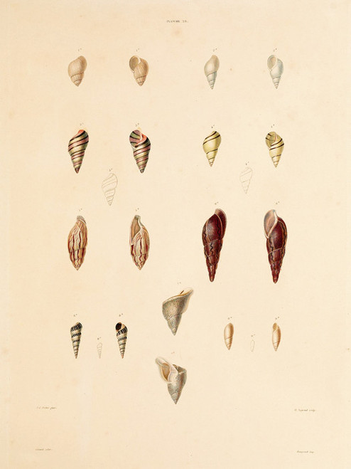 Art Prints of Shells, Plate 30 by Jean-Baptiste Lamarck