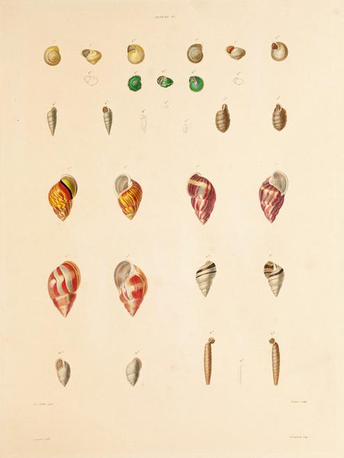 Art Prints of Shells, Plate 29 by Jean-Baptiste Lamarck