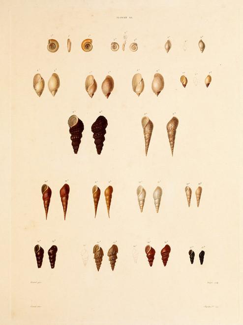 Art Prints of Shells, Plate 32 by Jean-Baptiste Lamarck