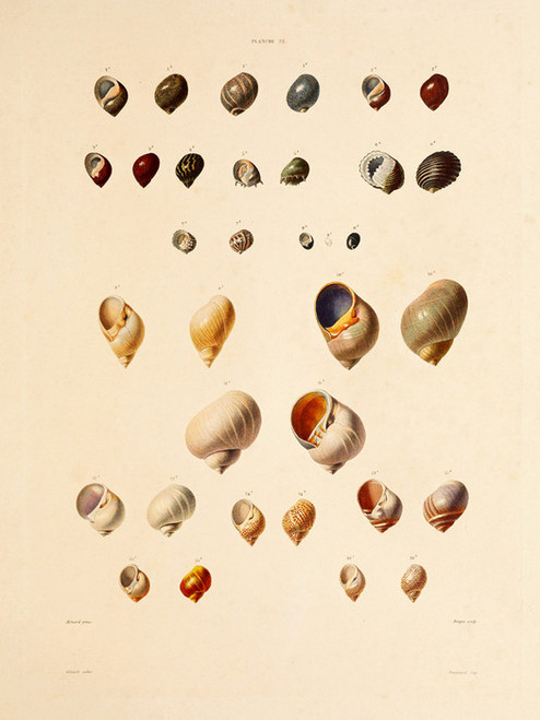 Art Prints of Shells, Plate 34 by Jean-Baptiste Lamarck