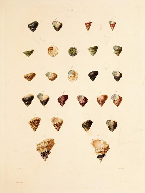 Art Prints of Shells, Plate 38 by Jean-Baptiste Lamarck