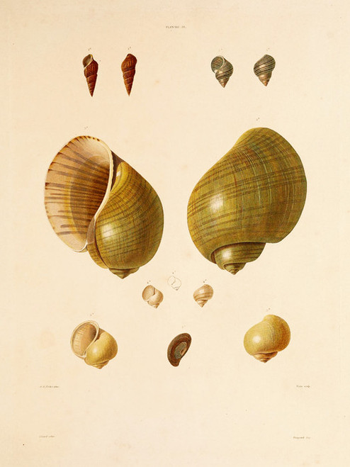 Art Prints of Shells, Plate 33 by Jean-Baptiste Lamarck