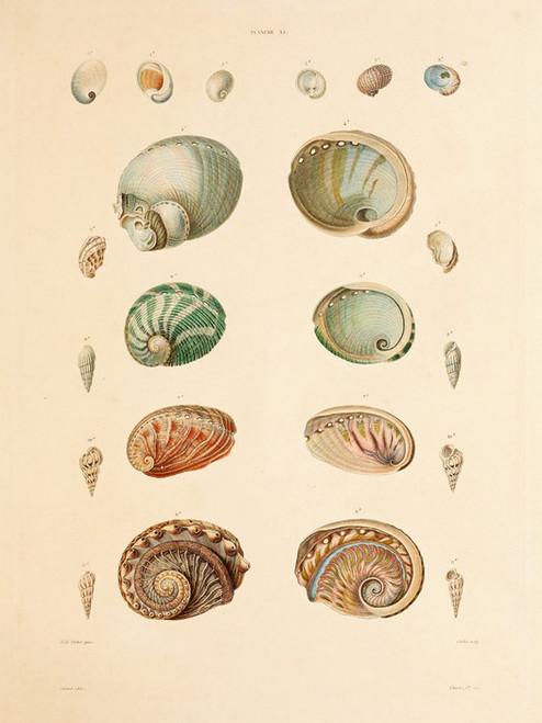 Art Prints of Shells, Plate 35 by Jean-Baptiste Lamarck