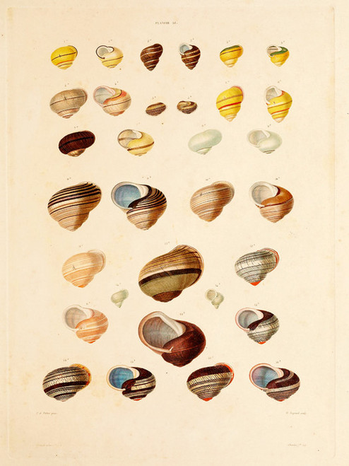 Art Prints of Shells, Plate 40 by Jean-Baptiste Lamarck