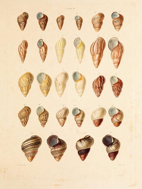 Art Prints of Shells, Plate 41 by Jean-Baptiste Lamarck