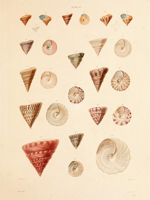 Art Prints of Shells, Plate 37 by Jean-Baptiste Lamarck