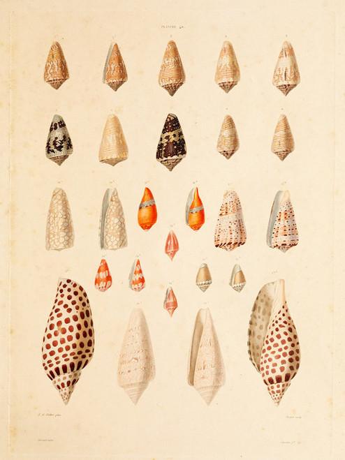 Art Prints of Shells, Plate 42 by Jean-Baptiste Lamarck