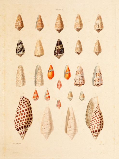 Art Prints of Shells, Plate 42 by Jean-Baptiste Lamarck
