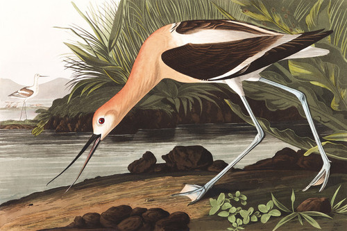 Art Prints of American Avocet by John James Audubon