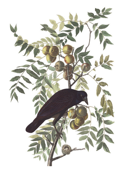 Art Prints of American Crow by John James Audubon
