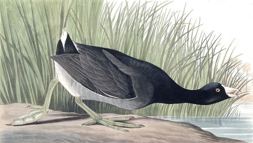 Art Prints of American Coot by John James Audubon