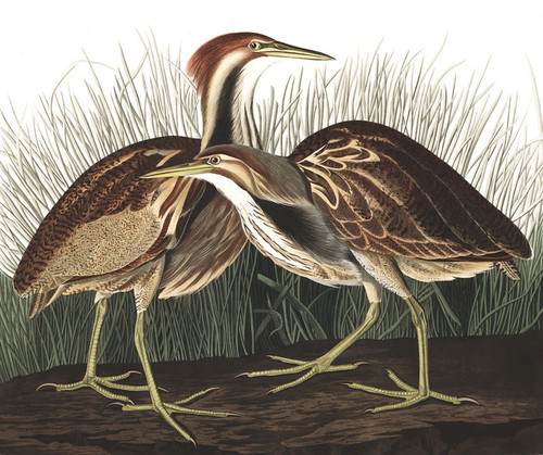 Art Prints of American Bittern by John James Audubon