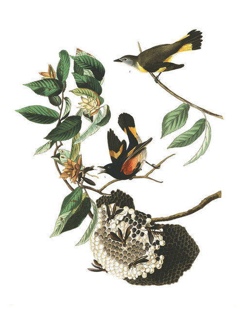 Art Prints of American Redstart by John James Audubon