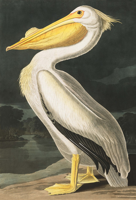 Art Prints of American White Pelican by John James Audubon