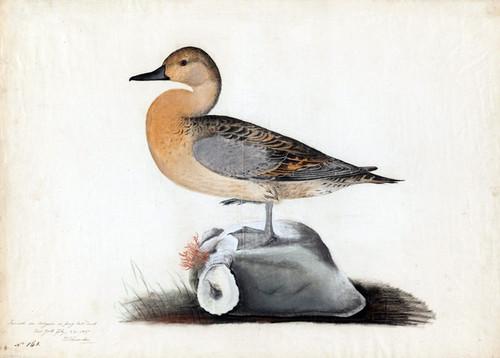 Art Prints of American Widgeon, Study by John James Audubon