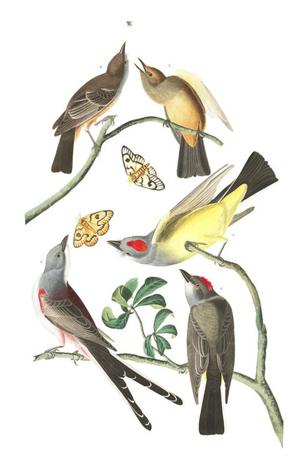 Art Prints of Arkansaw Flycatcher by John James Audubon